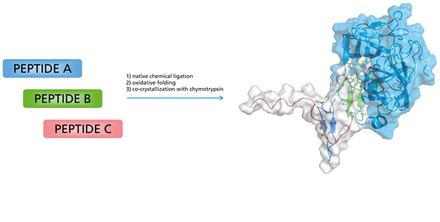 Christian Tornøe reports the protein synthesis and crystallization of Bowman–Birk protease inhibitors.