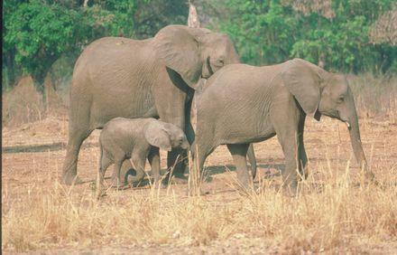 elefanten r tsel um l ngste schwangerschaft der welt gel st enke verlag tiermedizin. Black Bedroom Furniture Sets. Home Design Ideas