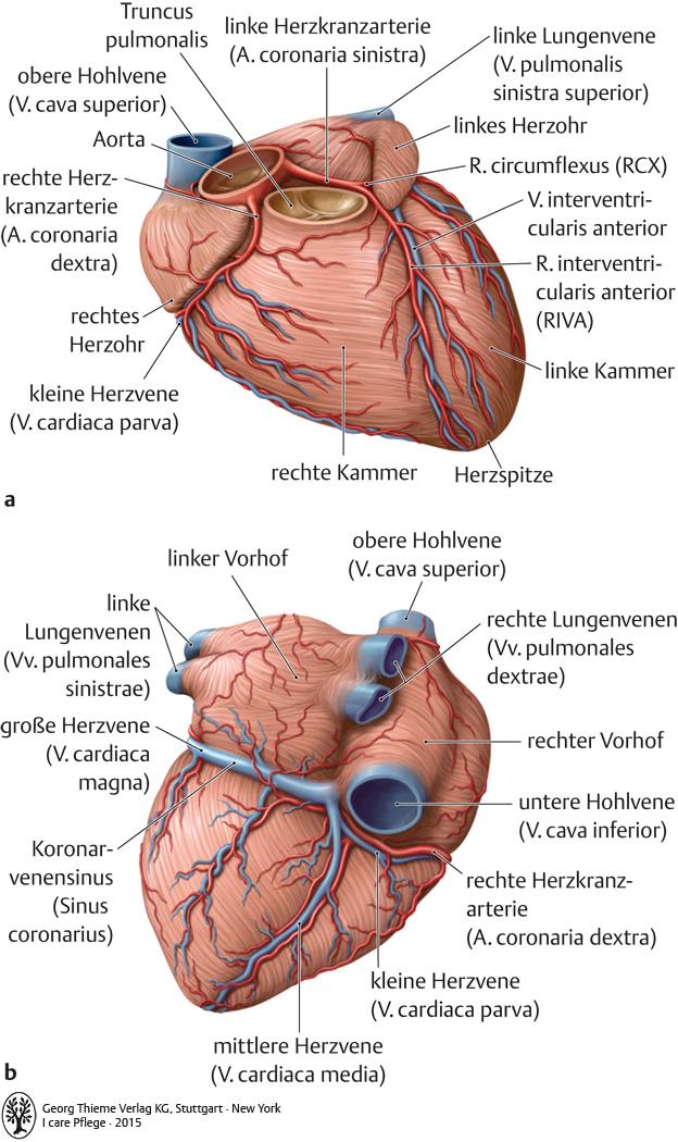 Charmant Anatomie Der Herzarterien Fotos - Anatomie Von Menschlichen ...