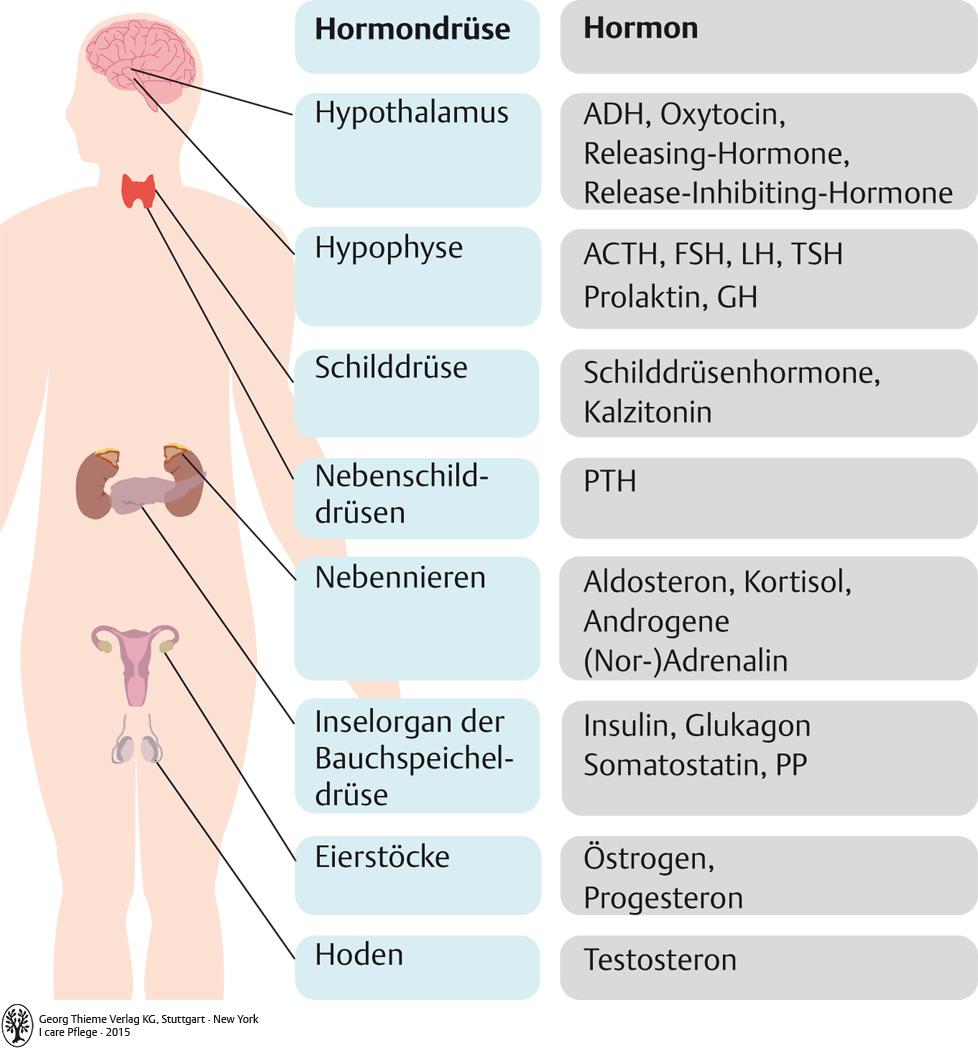 Großartig Hormonsystem Zeitgenössisch - Menschliche Anatomie Bilder ...