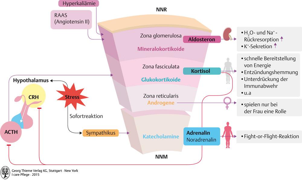 Berühmt Nebennieren Hormone Ideen - Menschliche Anatomie Bilder ...