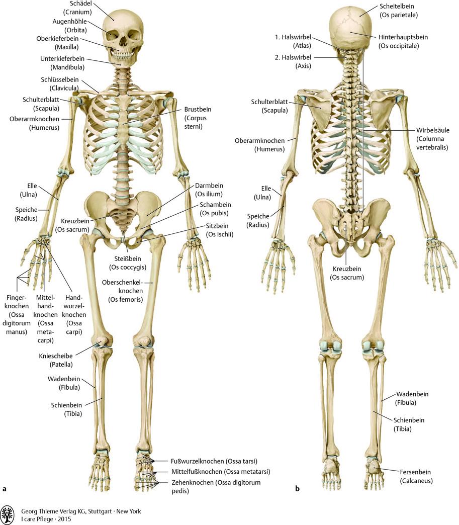 Tolle Knochen Anatomie Und Physiologie Bilder - Menschliche Anatomie ...