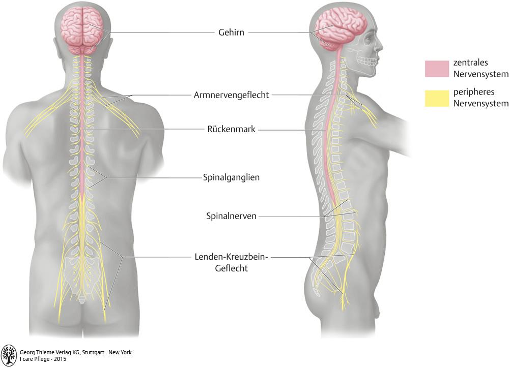 Erfreut Zentrales Peripheres Nervensystem Zeitgenössisch ...