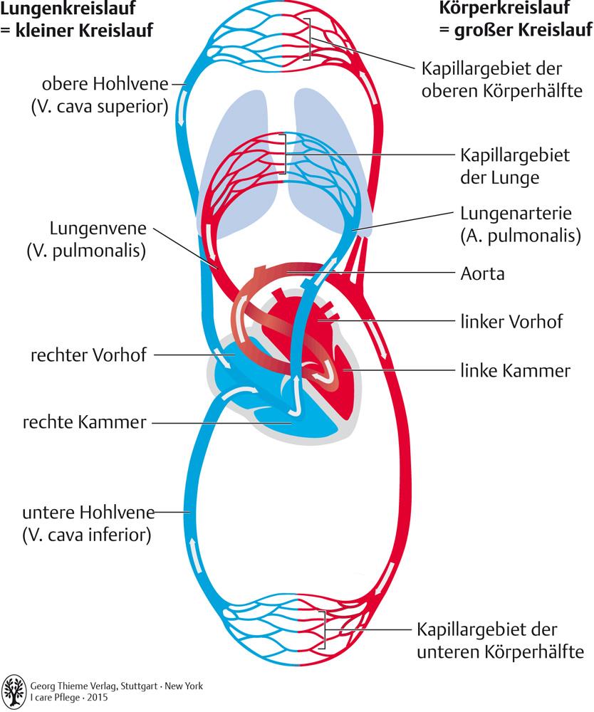 Atemberaubend Das Kreislaufsystem Galerie - Menschliche Anatomie ...