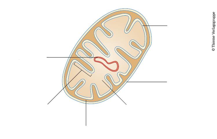 Teste dein Wissen: Mitochondrien - Vorklinik - via medici