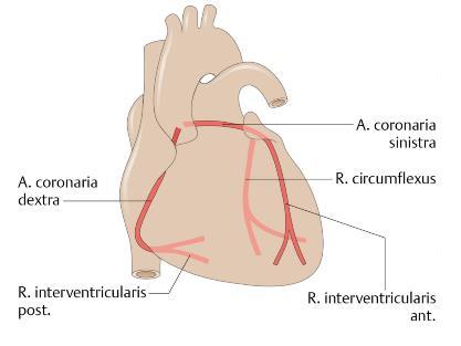 Notfall Herz: Was beim Infarkt passiert und wie man\'s wieder ...